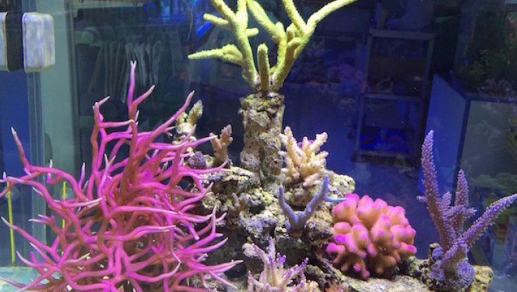 Vendita coralli online acquario marino e dolce coraldream for Acquario tartarughe vendita online